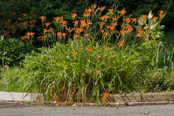 orange-daylily-IMG_9635.jpg