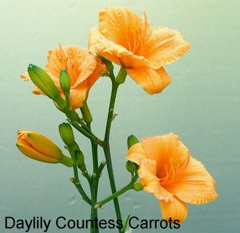 Daylily_Countess_Carrots_3__T.JPG