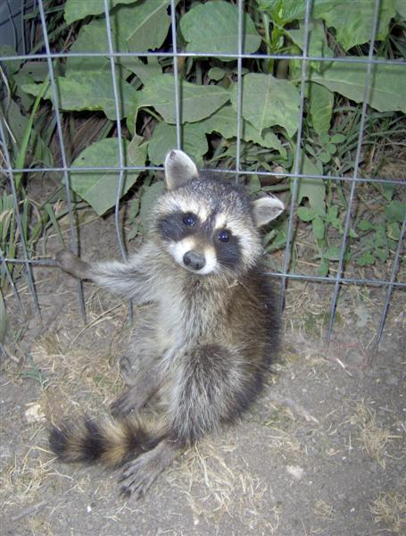 Farm Animals Racoon Pic 2.JPG
