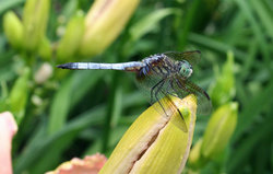 DRAGONFLY-AT-LUDDY'S.jpg