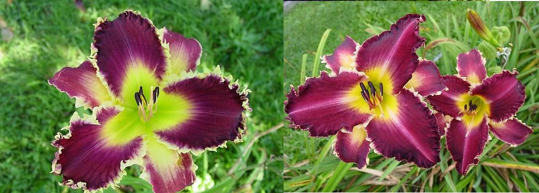2 Venus Fly Trap x Purple Badger.jpg
