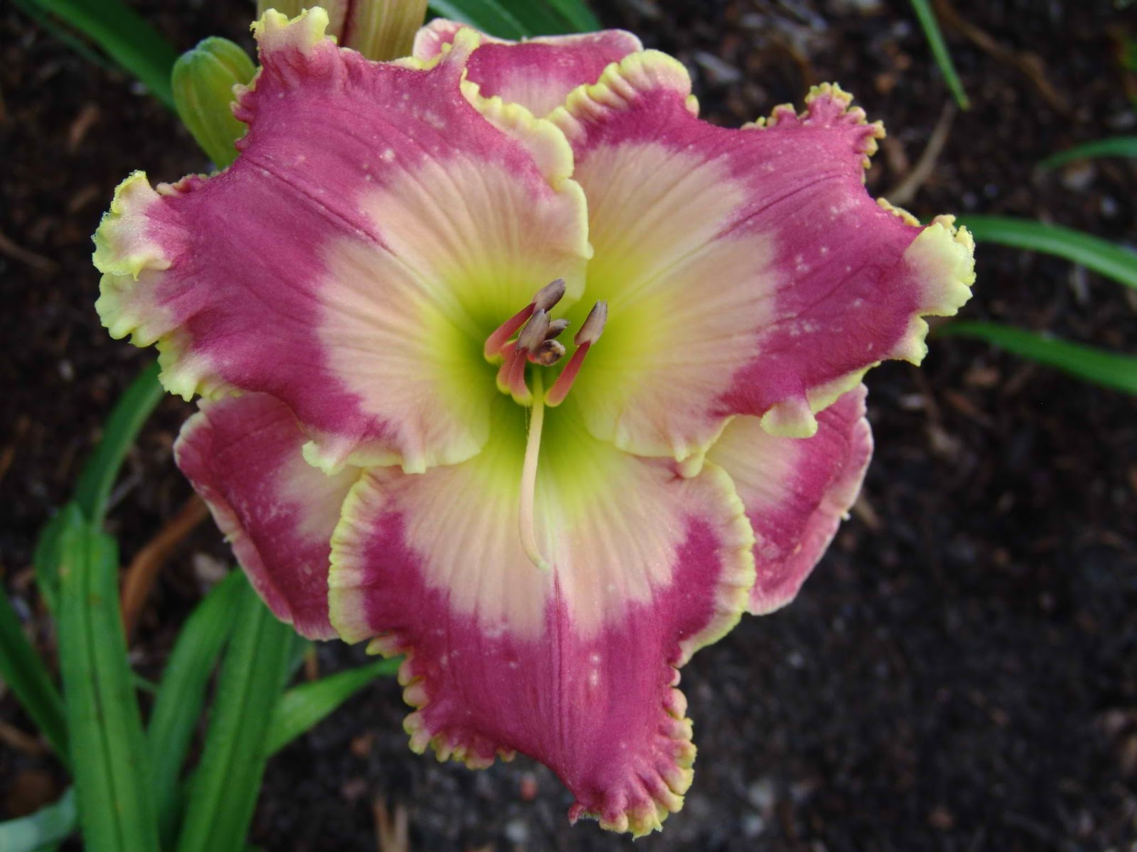 Daylily -- Picture in Picture - 60.JPG
